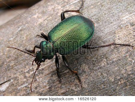 Green Carab Beetle