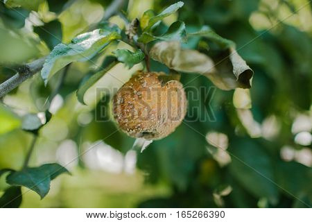 Decayed Apple yellow hanging on a tree