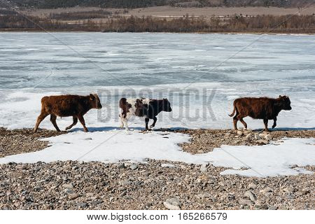 A small herd of wild cows are walking in the winter in the mountains on the shores of Lake Baikal.