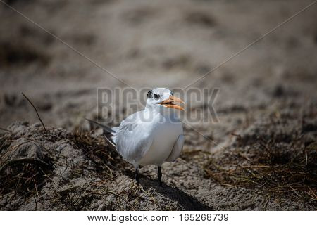 The Royal Tern (thalasseus Maximus) In It's Winter Plumage Walking On A Beach