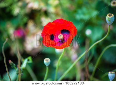 Poppy on the background of meadows while a one of summer day.