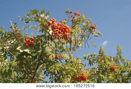 Many rowanberries on green bunchs over blue sky