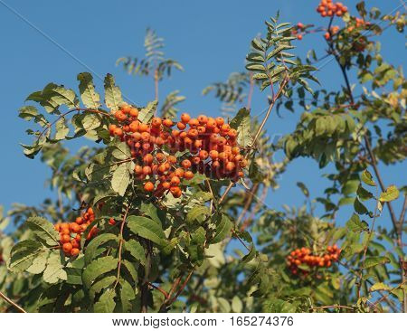 Many rowanberries bunches on green brunches isolated on blue