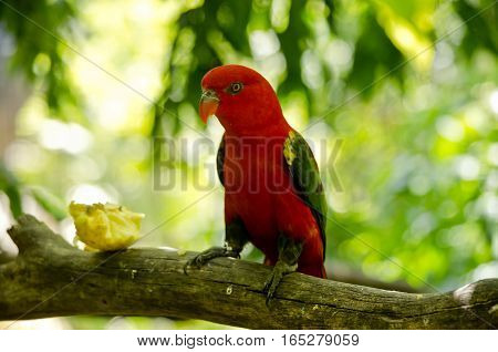 the chattering lory is eating fruit on a tree branch
