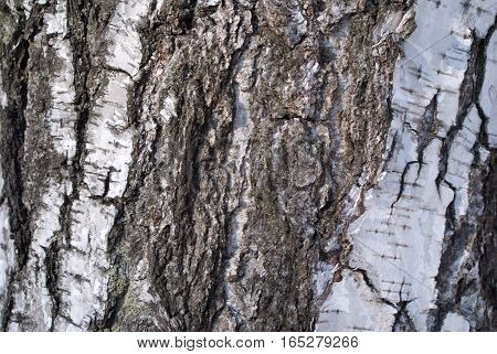 Black and white birch bark closeup view