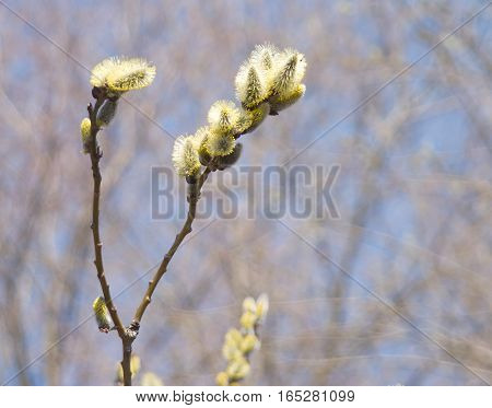 Blossom branch with small buds in spring on blur background