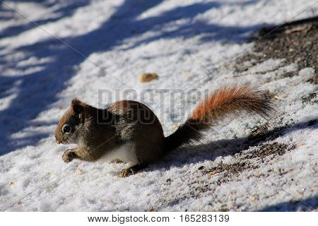 The squirrel sitting on snow and eating