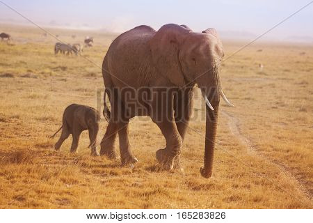 A small elephant calf walking behind his mother in Kenyan savannah
