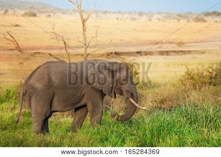 Beautiful African elephant grazing at Kenyan savannah