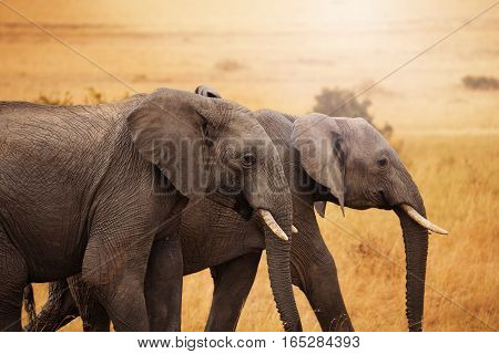 Close-up picture of a pair of beautiful African elephants walking together in Kenyan savannah