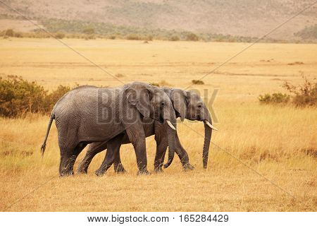 A pair of beautiful African elephants walking together in Kenyan savannah