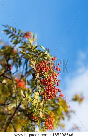 Rowan berries on branch on a background of blue sky