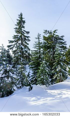 Spruce trees covered with snow in the winter forest on sunny day