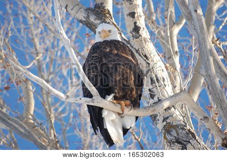 American Bald Eagle Perched on a Branch at the National Elk Refuge in Jackson, Wyoming