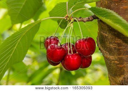 cluster of ripe cherries on cherry tree
