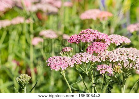 closeup of pink yarrow flowers growing on meadow