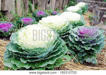 Fresh cabbage vegetable plant series in the garden with grass background planted at the top of mountain in northern part of Thailand