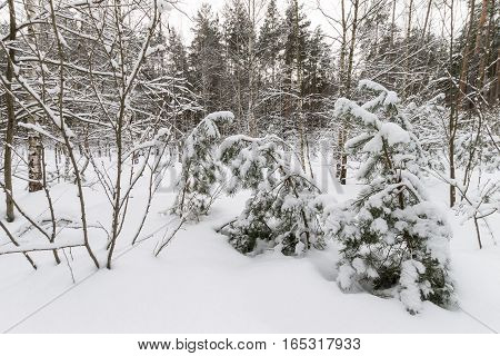 Landscape Of Winter Pine Forest Covered With Frost At Mainly Cloudy Weather.