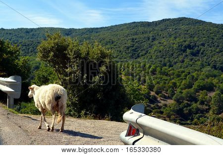 running sheeps on the road in my travel