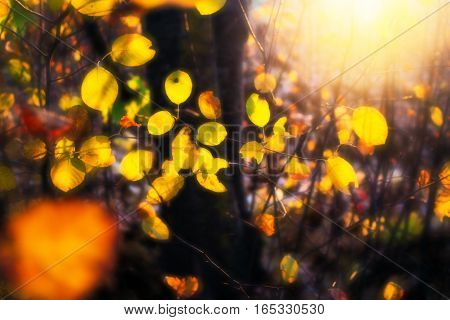 The yellow leaves illuminated by light the setting sun. Soft focus. Photo was processing in style like shooting with a lens monocle.