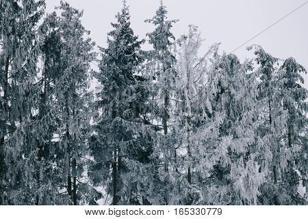 Winter forest. Pines after a heavy snowfall are covered with snow. The picture is taken in cloudy weather.