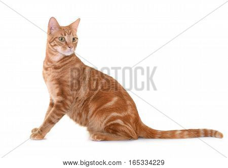 ginger cat in front of white background