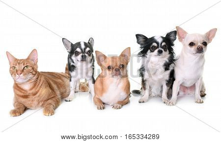 adult chihuahuas and cat in front of white background