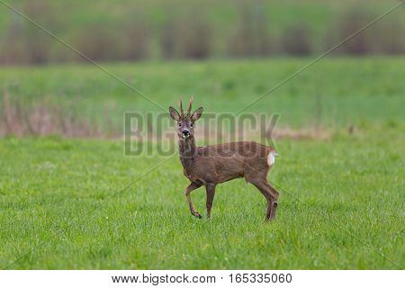Young roebuck standing in green meadow and looking