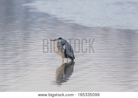 Portrait of grey heron (Ardea cinerea) standing in water
