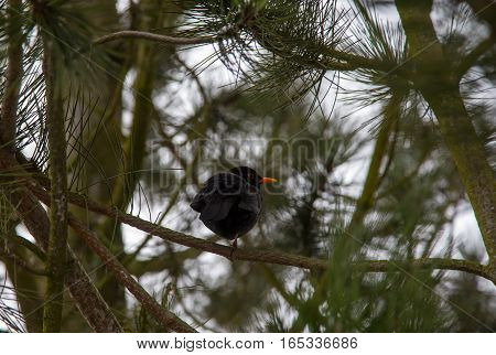 The black bird sits on one foot in the cold