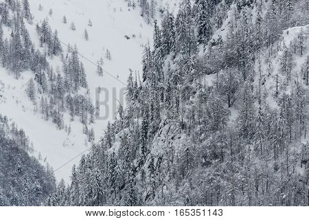 Forest in winter with snow and many trees in the mountains