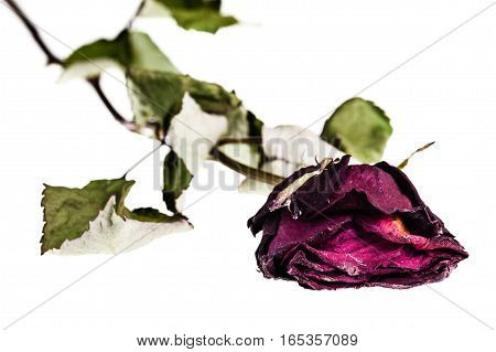 Faded Rose Isolated
