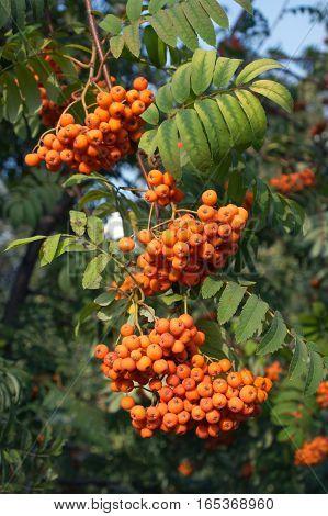 Many rowan-berries fruits hungs on green branch closeup