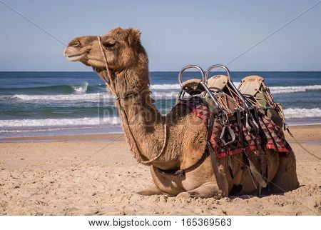 Camel resting on beach in Australia. Wild camels are brought from the Ourback to the coast as a tourist attraction.