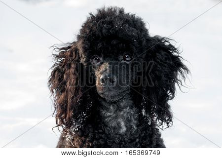 beautiful black poodle sitting in the snow bright winter day