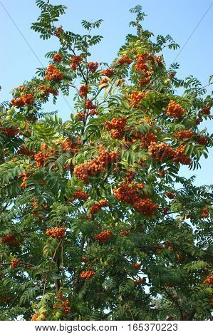 Many rowanberries bunches on tree isolated over blue
