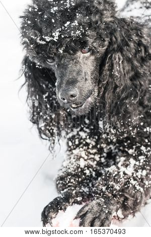 Black poodle with red Ball is played in winter on snow background