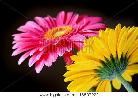Two gerber flowers isolated in black background