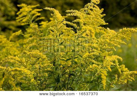 Solidago canadiens