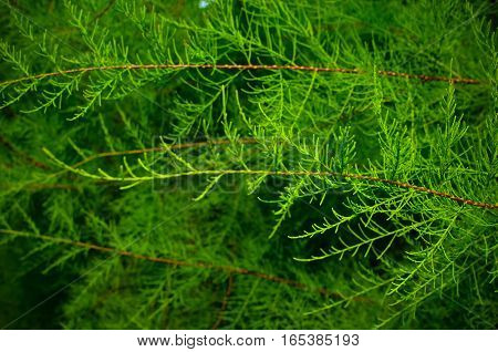 Tamarix Branches On A Green Background