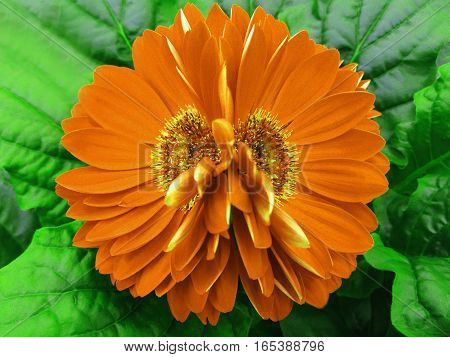 gerbera flowers orange. Closeup. beautiful two flower. green background. Nature.