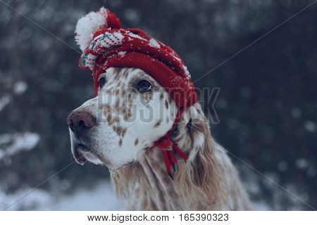 Close up christmas and new year vintage portrait of big white purebred dog English setter wearing fashionable and stylish red warm hat on natural forest winter background