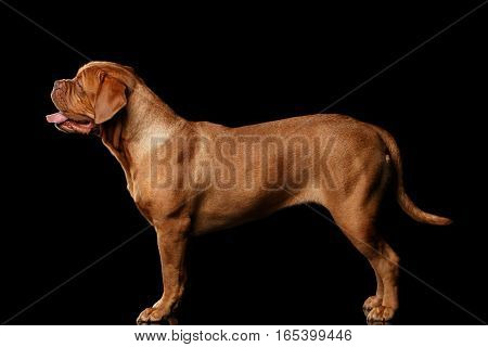 dog of breed Dogue de Bordeaux standing isolated on black background, side view