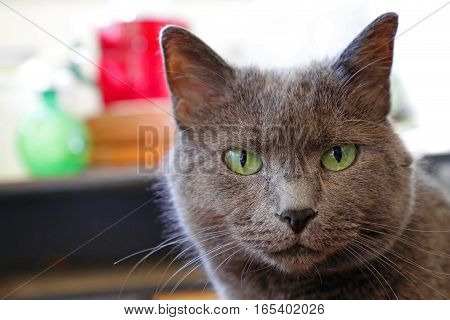 Domestic Cat Staring with Hipnotic Big Green Eyes