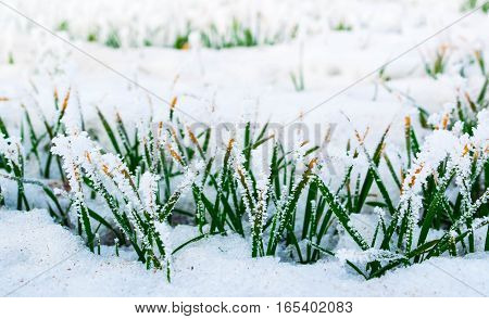 the grass in the frost, the grass in the frost, winter, cold, ice, nature, background, beautiful