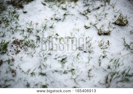 Grass Under Snow