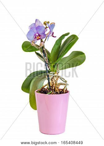 Blue Branch Orchid Flowers With Buds, Orchidaceae, Phalaenopsis
