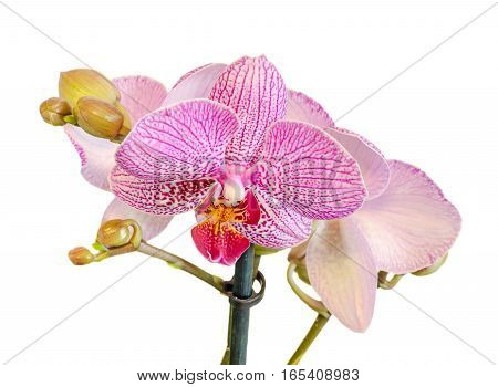 Pink Branch Orchid Flowers With Buds, Orchidaceae, Phalaenopsis