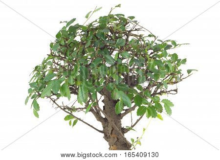 Small Japanese tree bonsai with many green leaves on branches isolated over white closeup