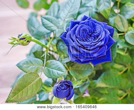 Blue Roses Flower Bush With Buds In A Brown Vase, Flowerpot,  Green Leaves, Close Up, White Backgrou
